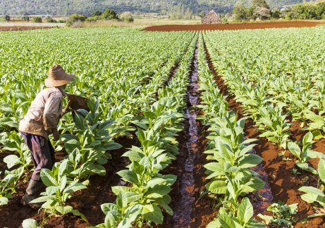 La réduction de la production de nourritures vivrières et l'appauvrissement des pays producteurs